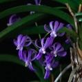 カトレアとフウラン系交配種