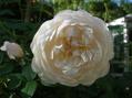 純白のバラ