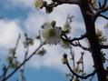冠梅園の白梅