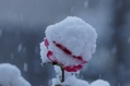 我が家の庭 (雪景色)