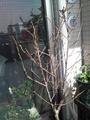 2月の暖地桜桃[i:231]