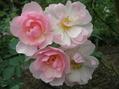 その後のバラ