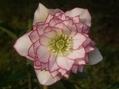 今年初のW糸ピコが咲きました[i:146]