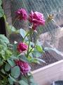 リビングでのバラ栽培