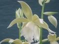 ガストロファイウスが咲き進みました