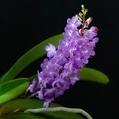 Vandachostylis Lilac Blossom 'Lucky'
