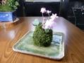 雪割草の苔玉