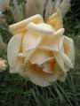 上品なバラ