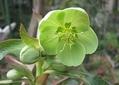 アーグチフォリウスが咲いて