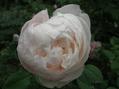 ふくよかなバラ