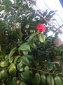 咲きましたヤブツバキ
