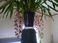 自宅温室ラン開花開始⑤