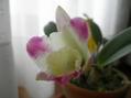 ミニカトレアの開花。
