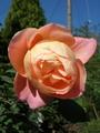 フレッシュなバラ