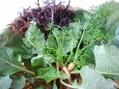 ジャガイモ植えつけ