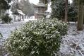 沈丁花の雪化粧