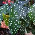 斑入り模様の木立性ベゴニア