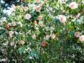 【園芸LOVE 原田が行く】愛好家の夢が花咲く、茅ヶ崎市・氷室椿庭園