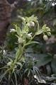 我が家のヘレボルスから…有茎種交配種