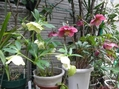 実家のお花、クリロー編