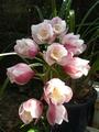 シンビジュウム開花