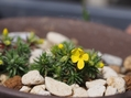 高い山のお花3