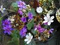タツタソウ、初花です