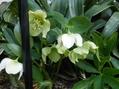 シンビジュームが咲きました。