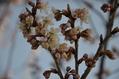 お彼岸さんです 彼岸桜です フシギです