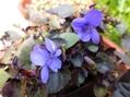 ブルビネラも宿根アリッサムも咲きました。
