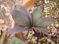 チベタヌス交配種