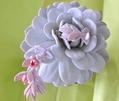 ラウィの開花