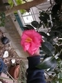 ツバキが咲きましたその2