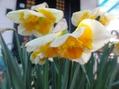 スイセン 花盛り