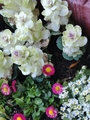 種を蒔くスペースと葉ボタンの整理