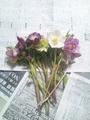 クリスマスローズを切り花で楽しむ・1