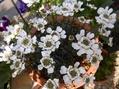 オステオスペルマム スプーン咲き。