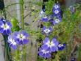 青花ナスタチウム