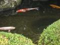 庭の鯉の動き。