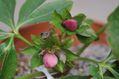 クリスマスローズの交配種(ピンク)