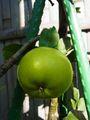 リンゴ 結実