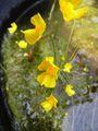 タヌキモ 開花