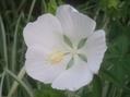 今朝の庭より・・・白い花