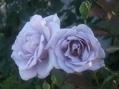 今日のバラ②
