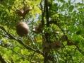 アケビの実とアリストロキアの花