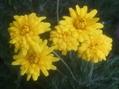 ユーリオプスデージー、原種シクラメン、ハナカタバミ