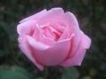 出勤前の今朝のバラ③