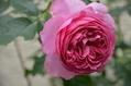 この バラの花びらは何枚?