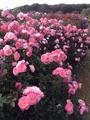 楽し♪京成バラ園ガーデンツアー