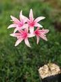 実生ネリネ開花